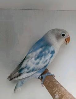 harga lovebird blue series