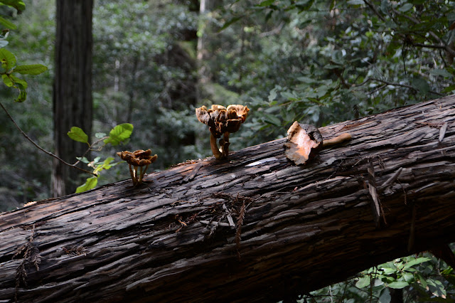 mushrooms taking on the redwood challenge