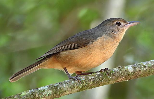 Anis-bentet Kecil, Little Shrike-thrush, Colluricincla megarhyncha