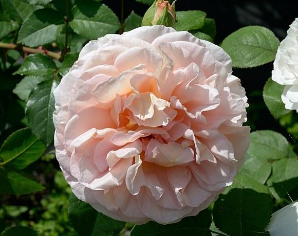 Abraham Darby сорт розы фото