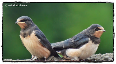 Juveniles, Barn Swallow