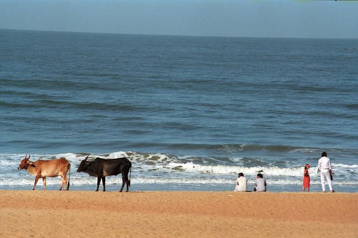 Goa, Vagator Beach, vaches, femmes, © L. Gigout, 1990