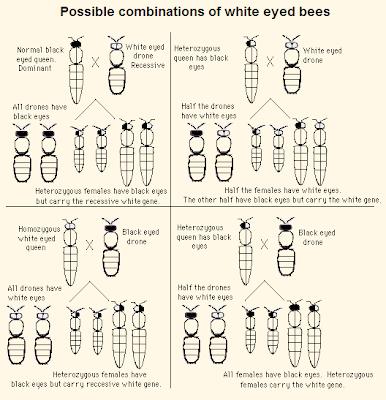 bee, beekeeping, drone, mutation, recessive gene, white eye,