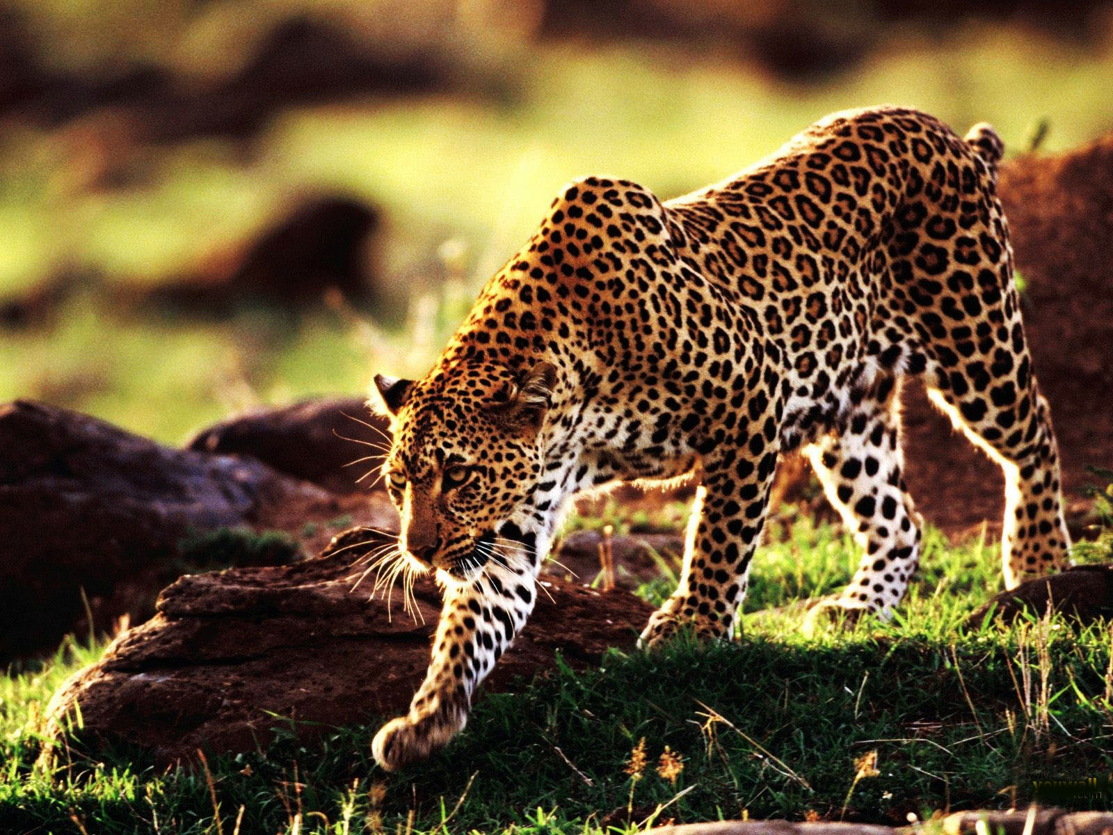 Beautiful Cheetah Latest Hd Wallpapers/Images 2013 | Beautiful And Dangerous Animals/Birds Hd ...