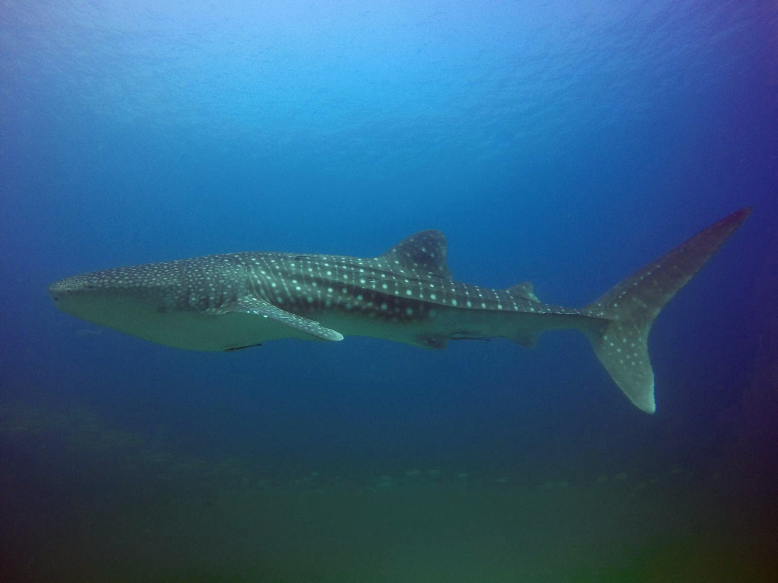 Euriental | luxury travel & style | whale shark, Oman