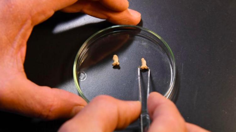 Dos falanges de las manos de un individuo neandertal infantil digeridas por un ave de gran tamaño encontradas en Cueva Ciemna (Polonia). Foto: PAP/Jacek Bednarczyk