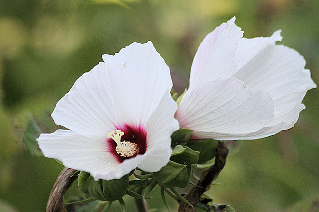 Swamp Rose Mallow by Denise