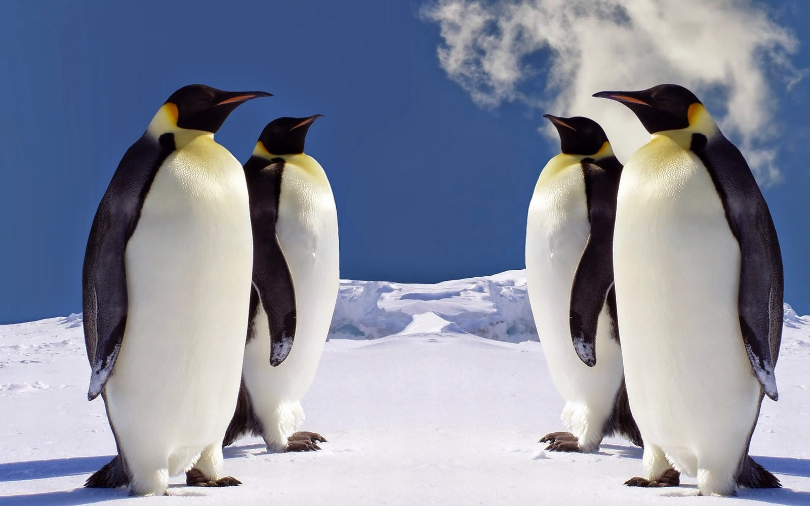 Down coats can make us look like these penguins!