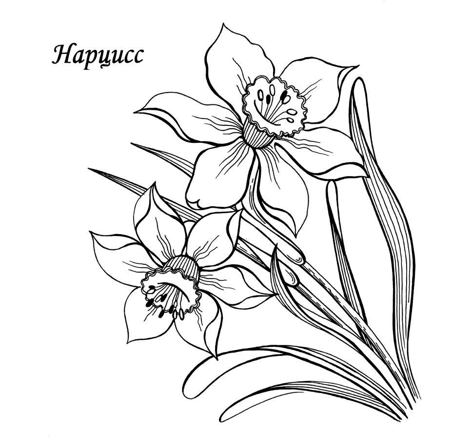 Раскраски деткам: Раскраска весенние цветы - Нарцисс