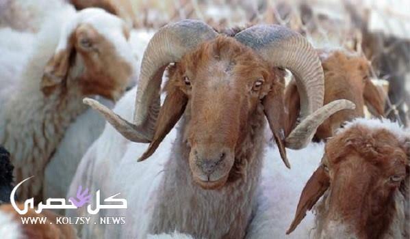 سعر خروف العيد 2017 في مصر