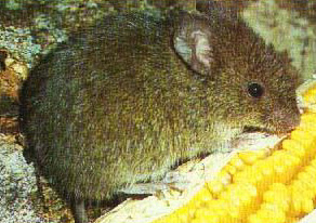 Azara´s grass Mouse
