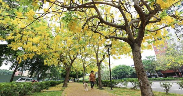 台中南區興大路黃金阿勃勒大道,花瓣飄下黃金雨,鋪成黃金地毯