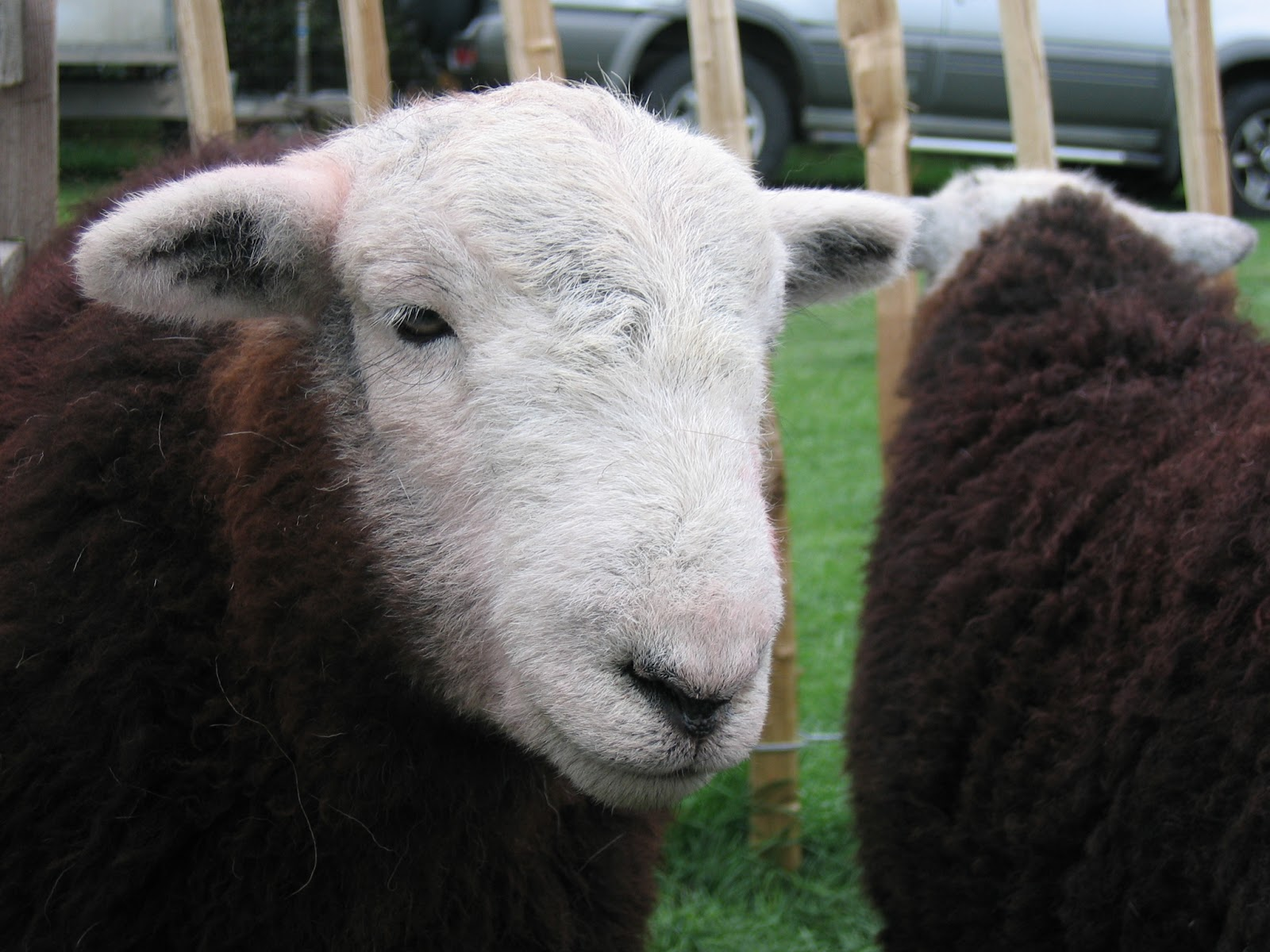 National Trust Fell Rangers Herdwick Sheep