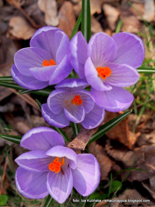 krokus, wiosna, wiosenne kwiatki, kwiaty, oznaki wiosny, szukajac wiosny, spacer, wiosenna wycieczka