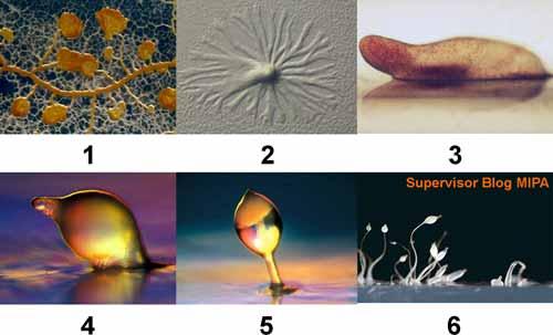 daur hidup dan pertumbuhan pada Myxomycota atau jamur lendir tidak bersekat