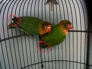 Cara Membedakan Lovebird Jantan Dan Betina yang Akurat | Harga Burung 2016