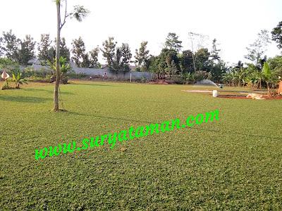 Jual Rumput Gajah Mini - Tukang Rumput Bogor
