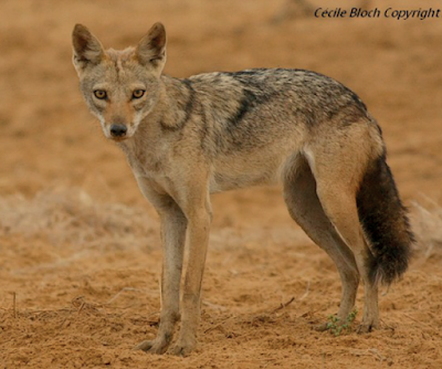 Canis anthus anthus (F. Cuvier, 1820)