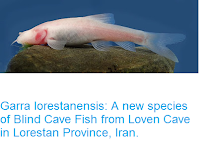 http://sciencythoughts.blogspot.co.uk/2016/05/garra-lorestanensis-new-species-of.html