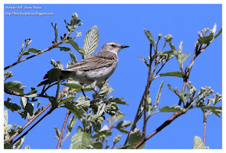 https://bioclicetphotos.blogspot.com/search/label/Pipit%20spioncelle%20-%20Anthus%20spinoletta