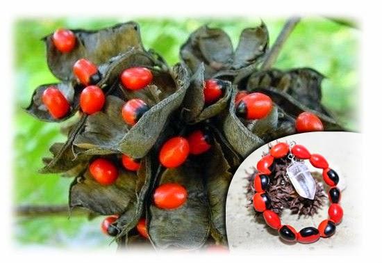 Plantas venenosas - Jequiriti ou Ervilha do rosário (Abrus Precatorius)