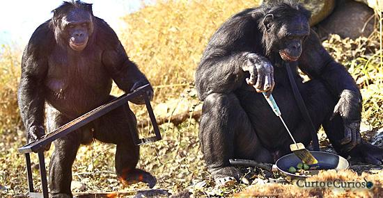 Planeta dos Macacos? Pesquisas revelam surpreendentes chimpanzés cozinheiros do Congo