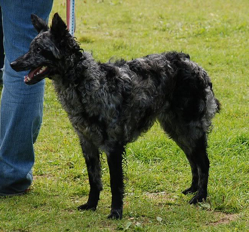 Dog Breeds With Curly Tails Dog Breeds