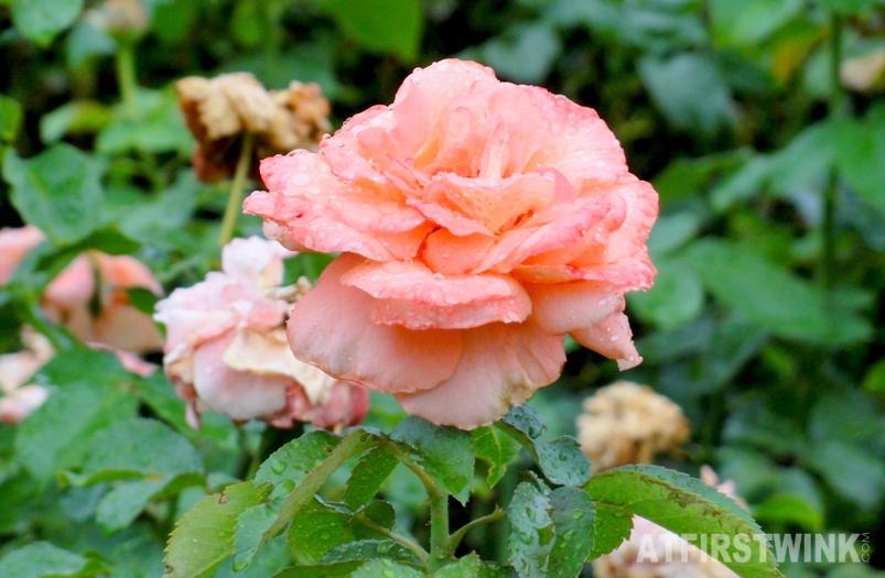 Shinjuku Gyoen 新宿御苑 coral rose