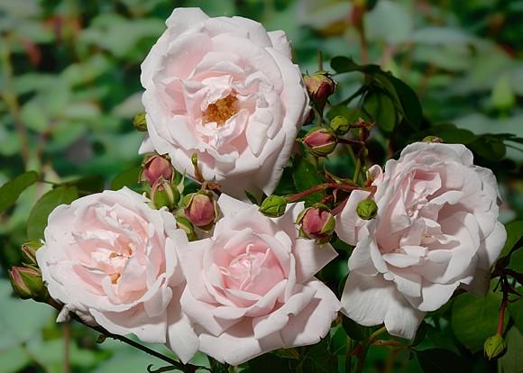 New Dawn роза фото сорт