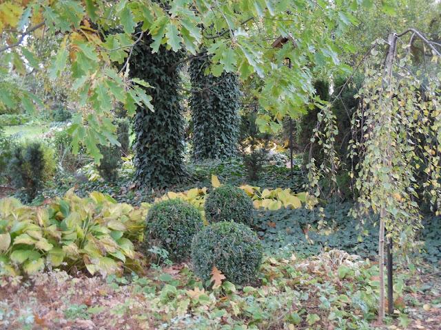 bukszpany i hosty jesienią