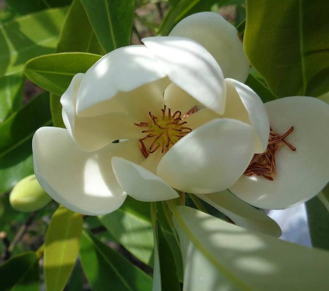 Magnolia at Chapel Trail Nature Preserve