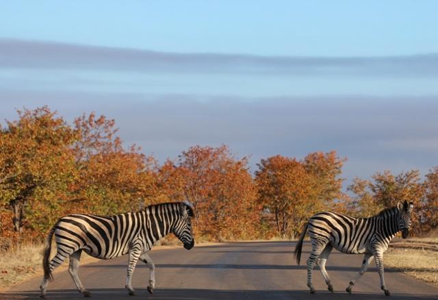 Pasos de Cebra en Kruger