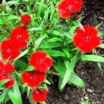 Clavel Dianthus chinensis