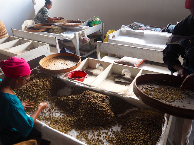 Coffee bean sorting at Glenmore plantation, Kalibaru, East Java, Indonesia