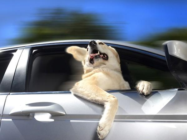 Đừng để chó chết vì những lí do này khi ở trong xe hơi