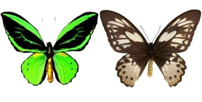 Kupu-kupu Ornithoptera priamus
