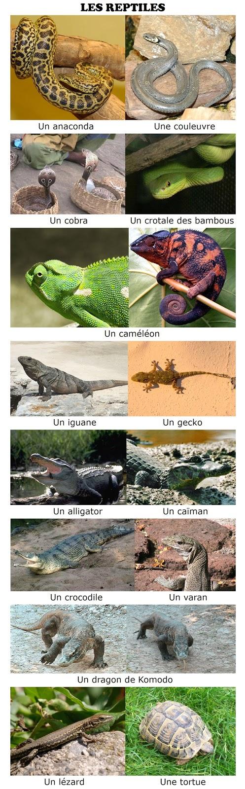 Zwierzęta - gady - Francuski przy kawie