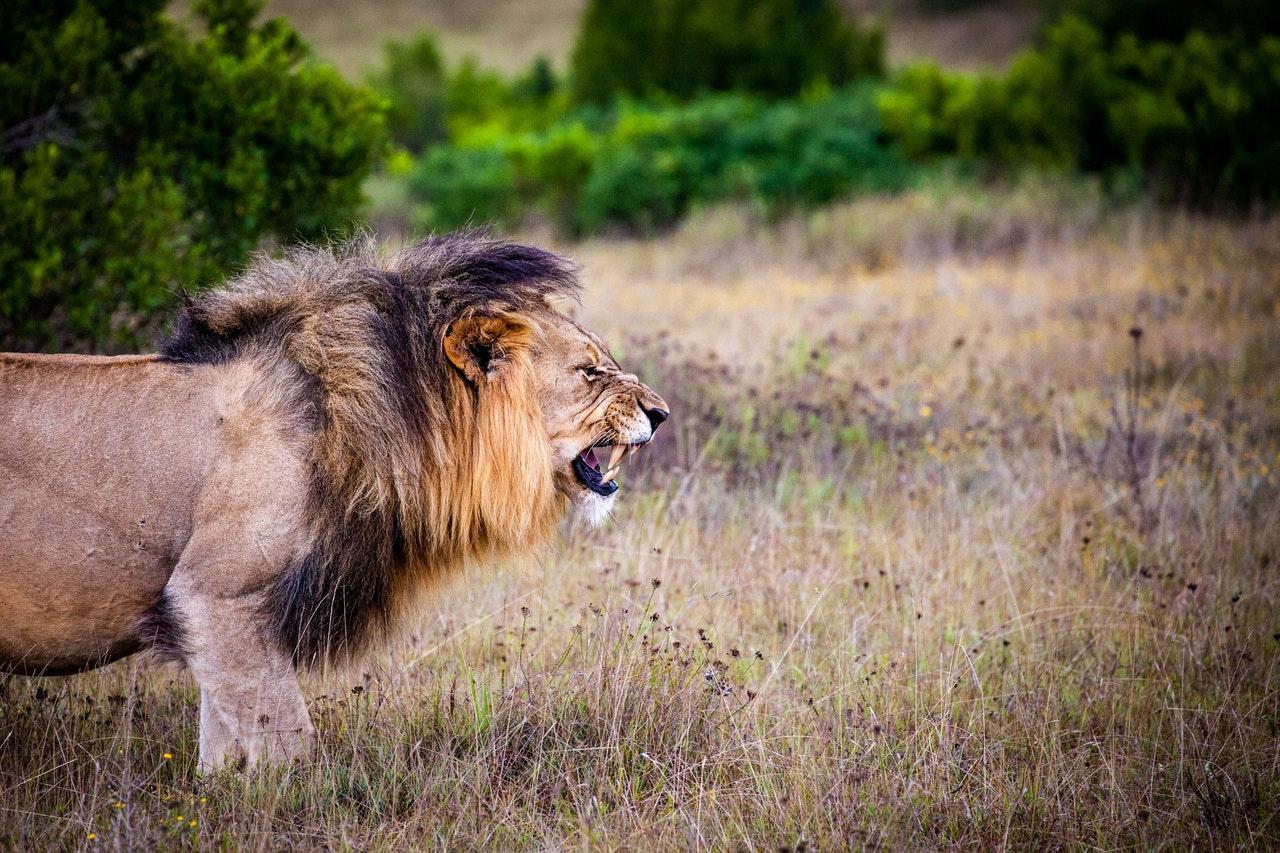 Fakta Menarik Tentang Singa