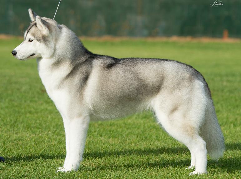 Siberian-Husky-breed-standard