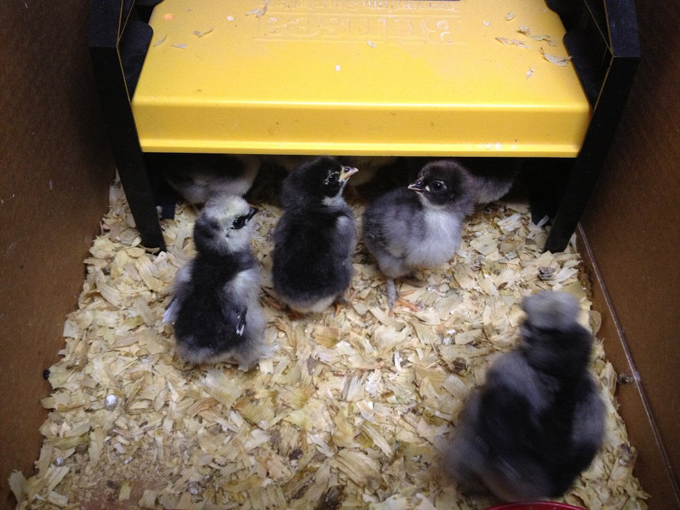 Brooder Basics Exactly What You Need To Raise Chicks Murano Chicken Farm