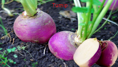 turnip; turnip vegetable