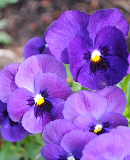purple panies