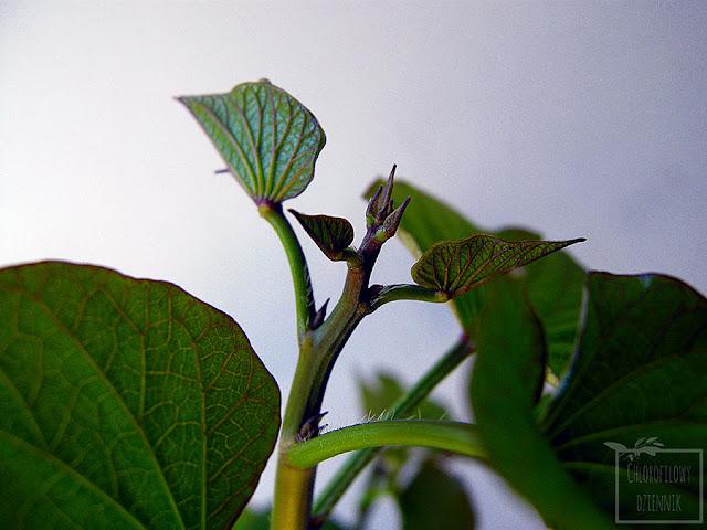 Batat, kumara, słodki ziemniak, wilec ziemniaczany (Ipomoea batatas) - opis, uprawa, pielęgnacja, rozmnażanie, historia, pochodzenie, kwitnienie, ukorzenianie, podlewanie, pochodzenie. Jak pielęgnować bataty?