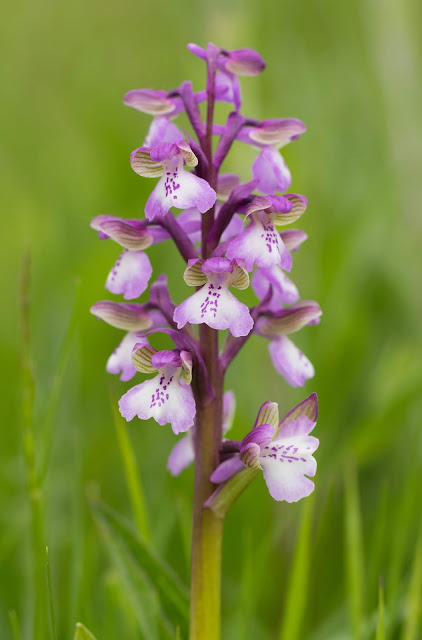 Green-winged Orchid - Leicestershire