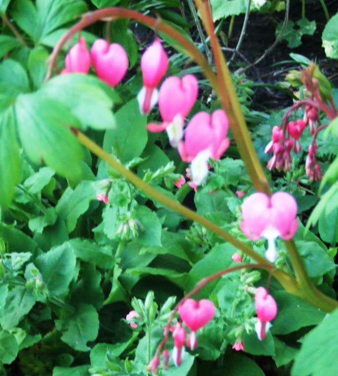 Dicentra flowers