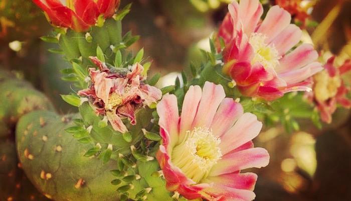 Flores de alfileres de eva