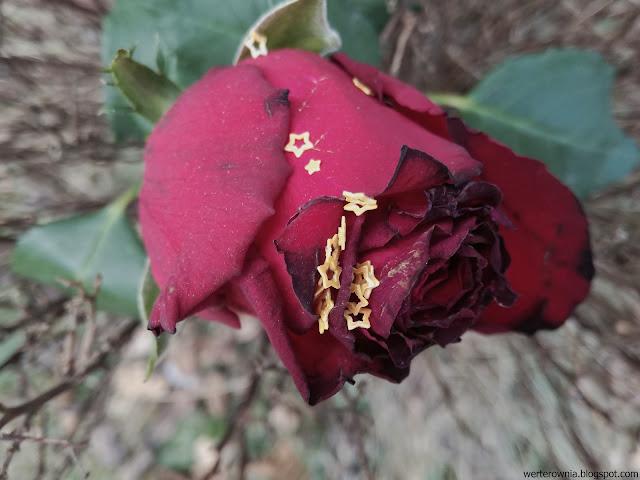 róża piękna i bestia