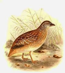 Chestnut backed Buttonquail