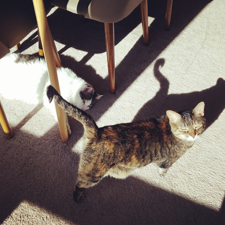 image of Olivia the White Farm Cat lying under the dining room table in a stream of sunshine, and Sophie the Torbie Cat standing beside her, looking up at me with squinted eyes