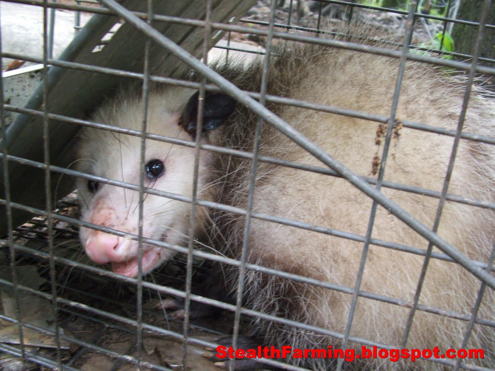 Stealth Farming: Pocono Tree Rat